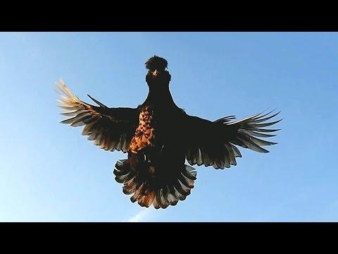 Flying Pavlovskie chickens Курица - Птица Полёты  Полёт Павловской курочки