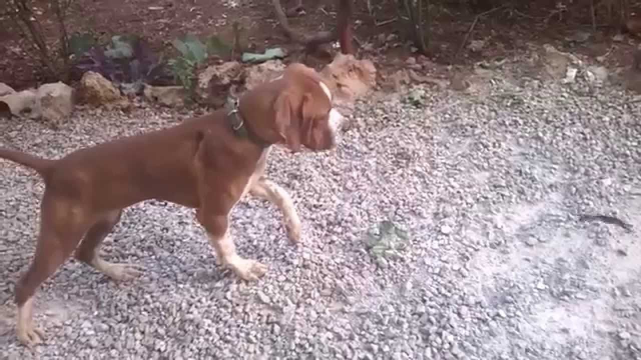 chasse au maroc,dressage chien d