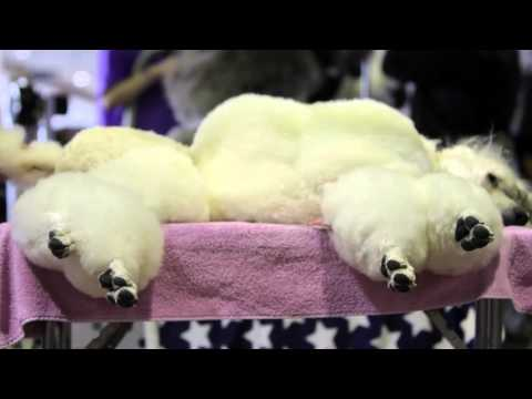 Dog grooming at Westminster Kennel Club Dog Show: What goes into making the perfect pooch