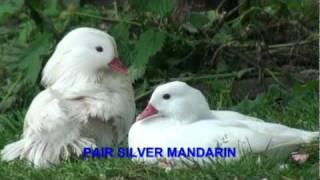 MANDARINS & CAROLINES