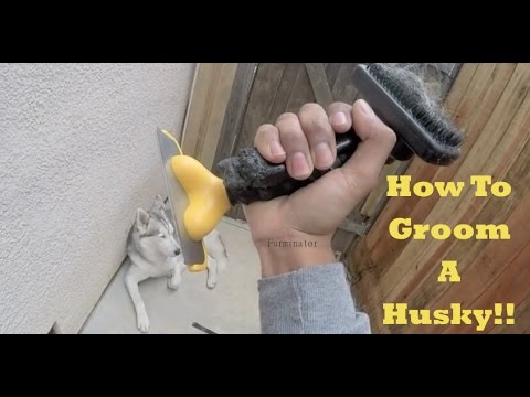 How To Groom A Husky! Removing Undercoat. Siberian Husky Grooming