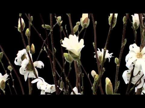Timelapse Flowers: Magnolia Stellata blooming Pépinières de Kervouric