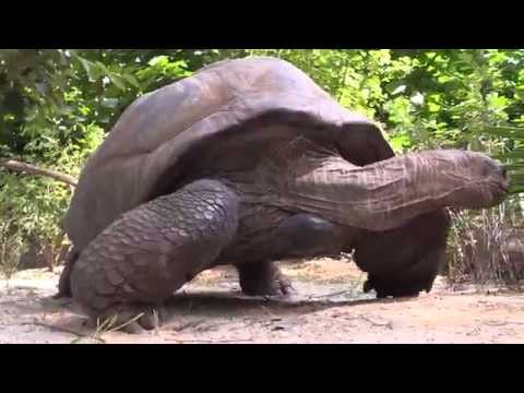 Aldabra Giant Tortoises at the Bronx Zoo