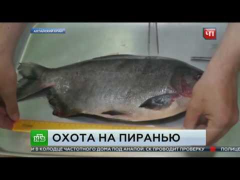 Вопрос: Как называется рыба с человечьими зубами?