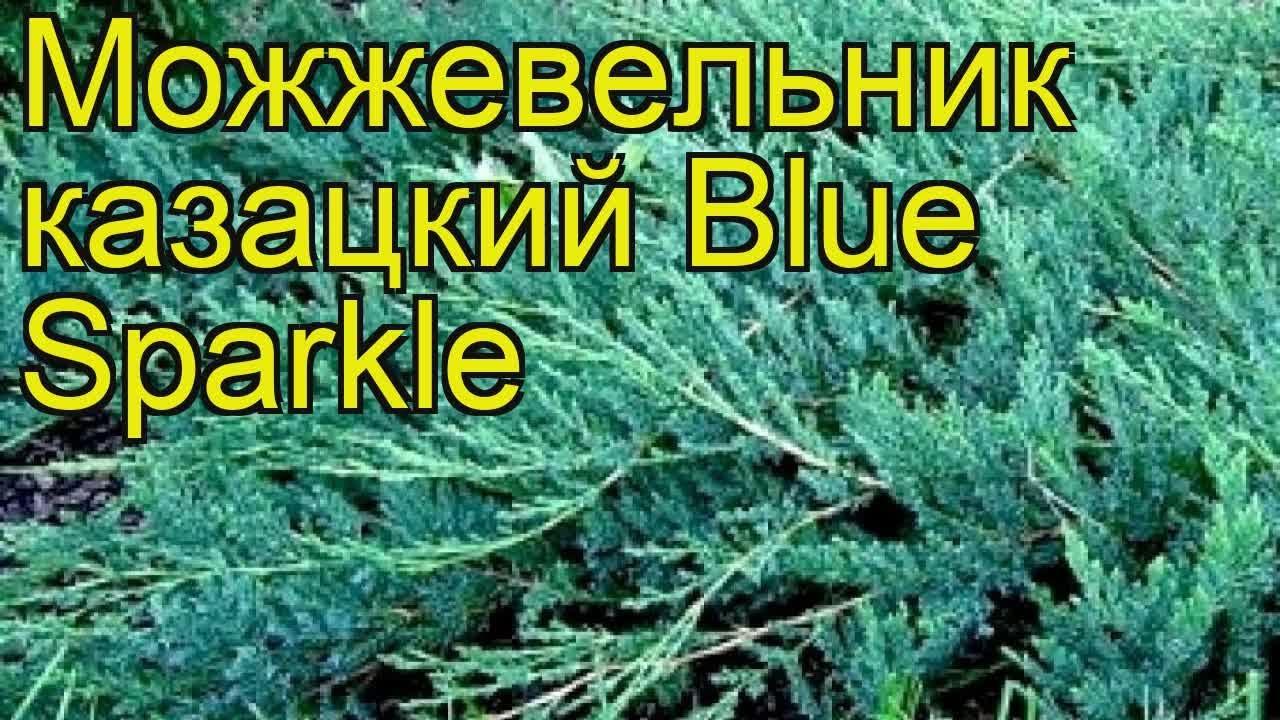 можжевельник казацкий описание и фото