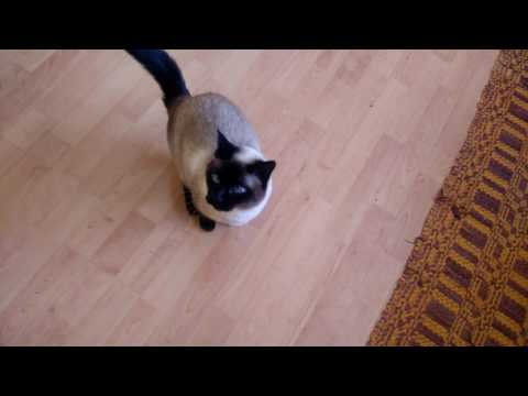Siamese cat needs seafish