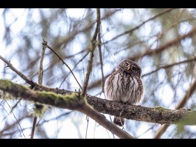 Sperlingskauz (Glaucidium passerinum) /  Eurasian pygmy owl (Glaucidium passerinum)