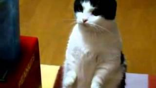 Смешные коты и кошки.Чумовой кот, стоит на задних лапах)