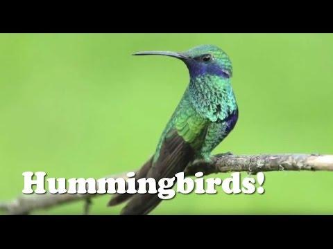 Hummingbirds! - Animal Kids Videos