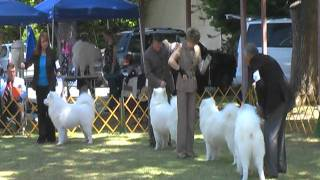Barbary Coast Samoyed Club Specialty May 13, 2011 Open Dog Part 2