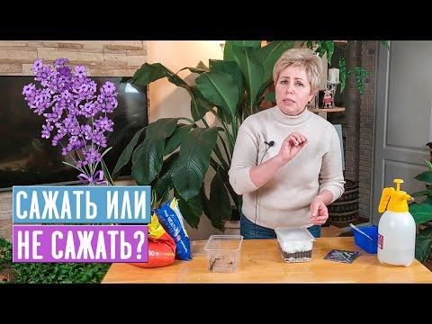 Вопрос: Какие есть отечественные сорта лаванды для средней полосы России?