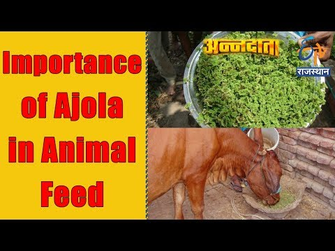Importance of Ajola in Animal Feed | Annadata | ETV Rajasthan