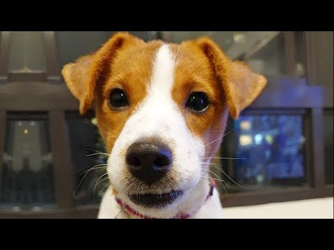 Ultimate Jack Russell Terrier Videos NEW