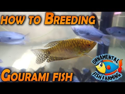 How To Breeding Gourami Fish  Breeder - Tropical Fish  Bred