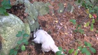 Cairn Terrier Earthdog