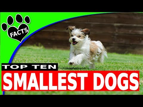 Top 10 Smallest Dog Breeds Toy Breeds - Animal Facts