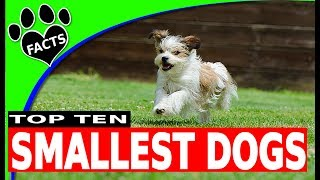 Top 10 Smallest Dog Breeds Toy Breeds