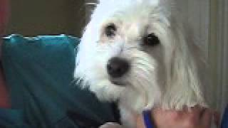 Lionelmovie Maltese Boy Needs A Home Pound To Posh Dog Rescue