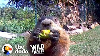 When jeff noticed that his garden was getting destroyed, he put out a camera to catch the culprit, groundhog! but chunk won jeff's heart over, and now l...