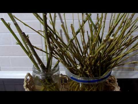 Вопрос: Как укоренить черенки комнатных растений в воде Что добавить в воду?