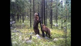 Ламбада медвежья.