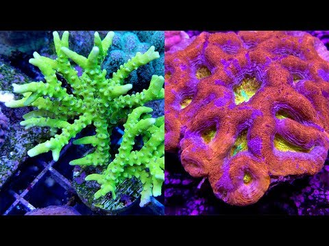 Coral Eye Candy From ACI Aquaculture