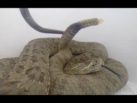 Rattlesnake Bites Herself