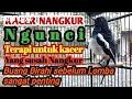 Kacer Nangkur Ngunci Terapi Untuk Kacer Yang Susah Nangkur Karena Buang Birahi Sebelum Lomba  Mp3 - Mp4 Download
