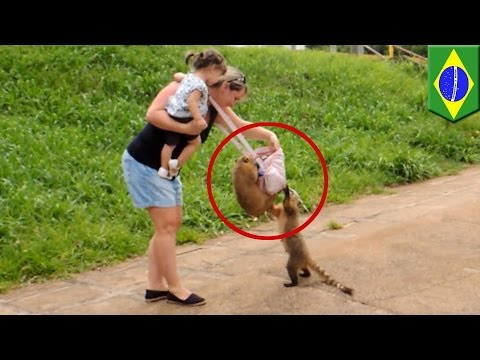 Cheeky thieving coatis steal food from tourist's bag in Brazil's Iguazu Falls - TomoNews