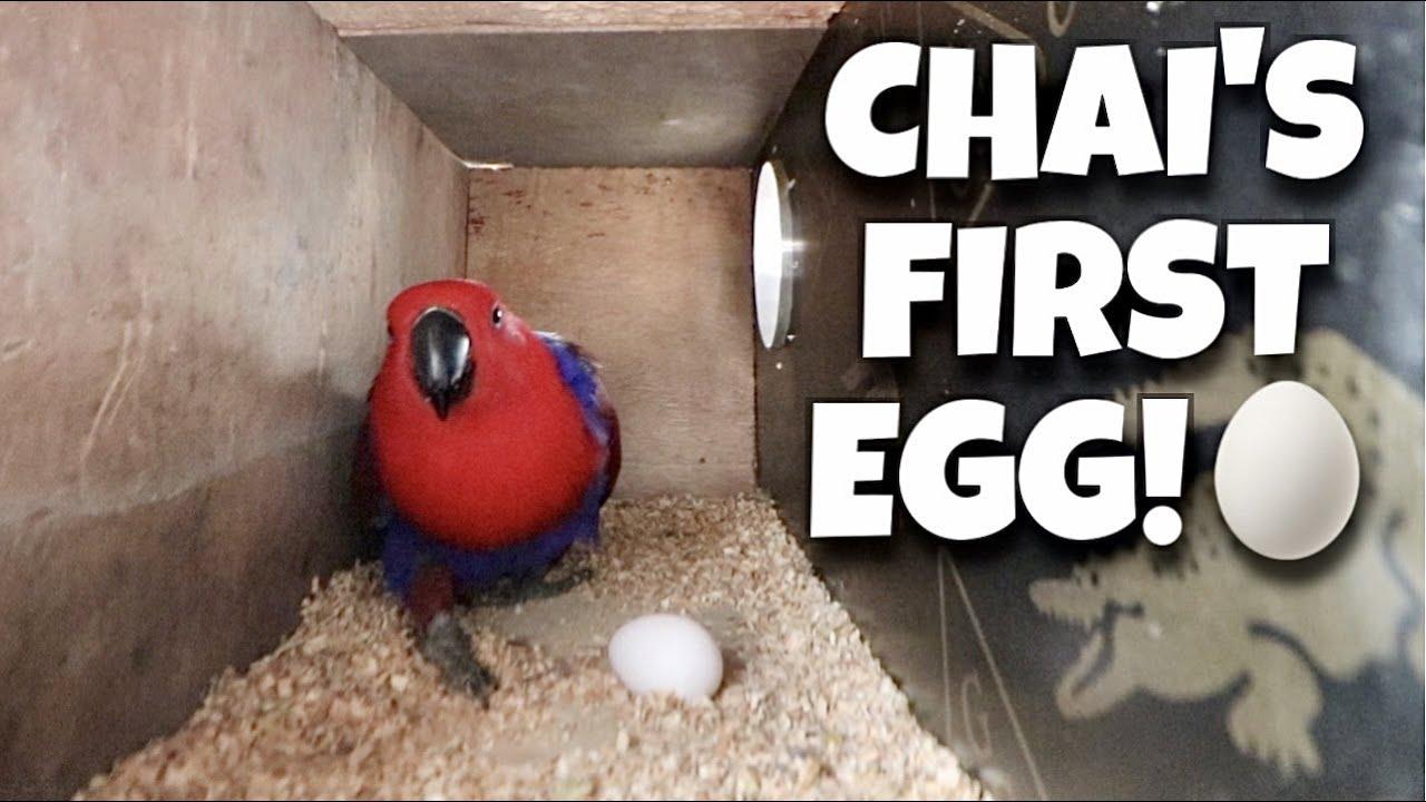 FIRST EGG NI CHAI ECLECTUS PARROT! Nanay na si Chai kaso basag yung itlog! (PARROT!) | Murillo Bros