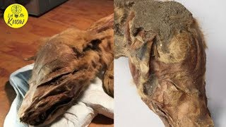 Yukon Miners Have Unearthed The Remains Of Two 50,000 Year Old Mummified Creatures