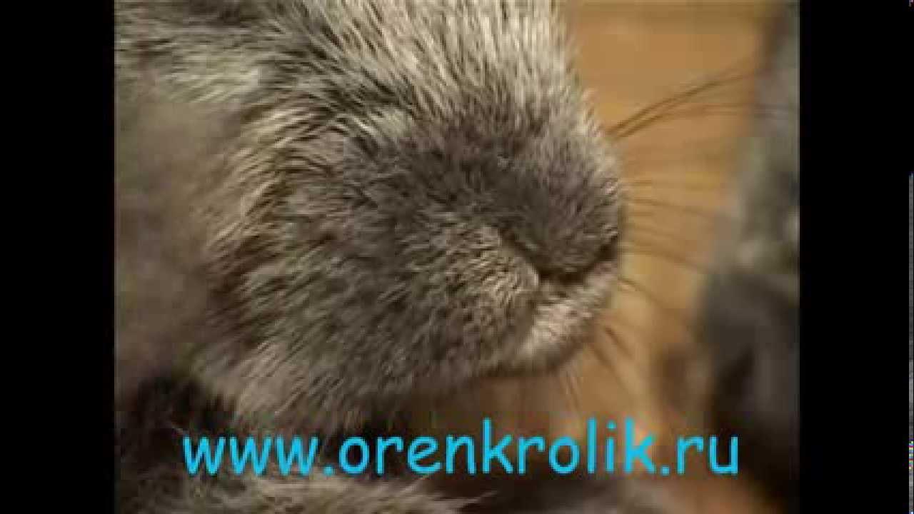 болезни кроликов уши симптомы и их лечение фото
