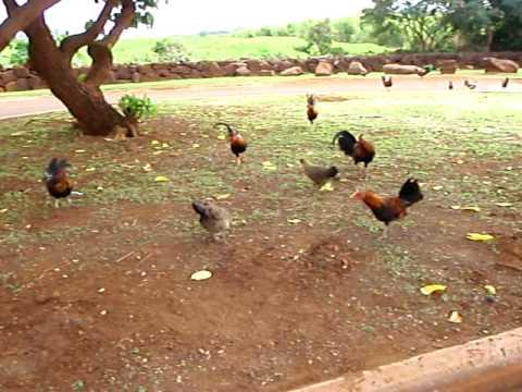 Feeding Kauai chickens