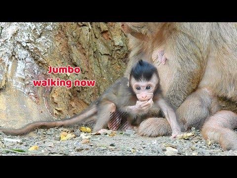 Bravo Lovely baby monkey Jumbo start walking now - Baby monkey can walk a few step without fail