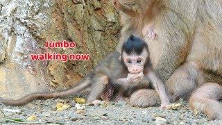 Baixar Bravo!! Lovely baby monkey Jumbo start walking now - Baby monkey can walk a few step without fail