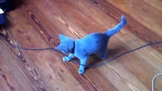 Alma i drukarka / kot rosyjski niebieski / russian blue cat play with printer