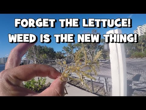 FORGET THE LETTUCE!!! Catching FISH on WEEDS!!! (FL Slam EP4) (Boca Raton, FL)