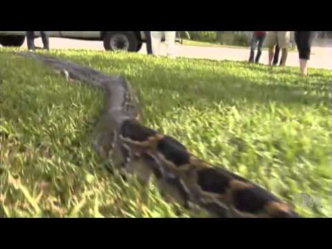 17 foot 8 inch python killed in Florida