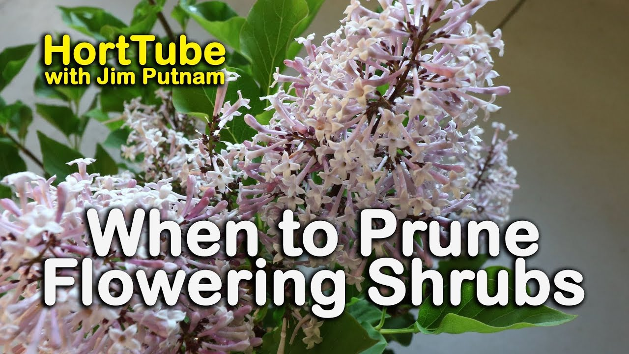 When To Prune Flowering Shrubs Pruning Hydrangeas Lilacs And