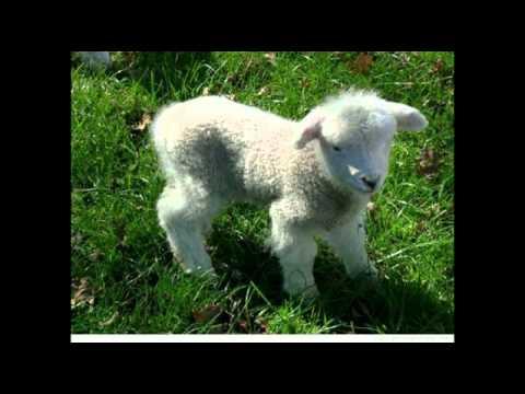 bäbä vita lamm