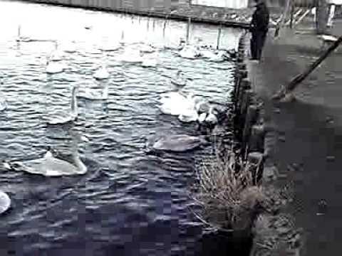 11-01-18-3 水戸市弁天池のハクチョウ白鳥スワンSWANS