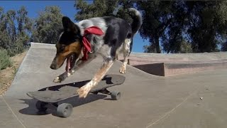 Ultimate Skateboarding Dog Compilation