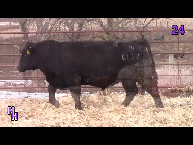 New Haven Angus Lot 24