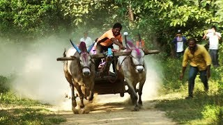 Powerful khillari bulls running in Bullock cart race