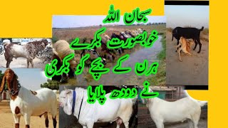 The Most Beautiful Goats in the World | Beautiful Goats in Pakistan | Beautiful Bakra in Pakistan