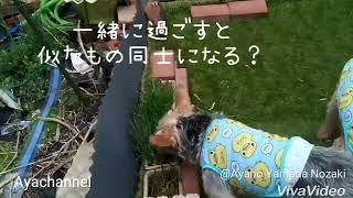 DiaやRubyが草を食べるので、最近Noelも草をむしゃくしゃ食べるようにな...