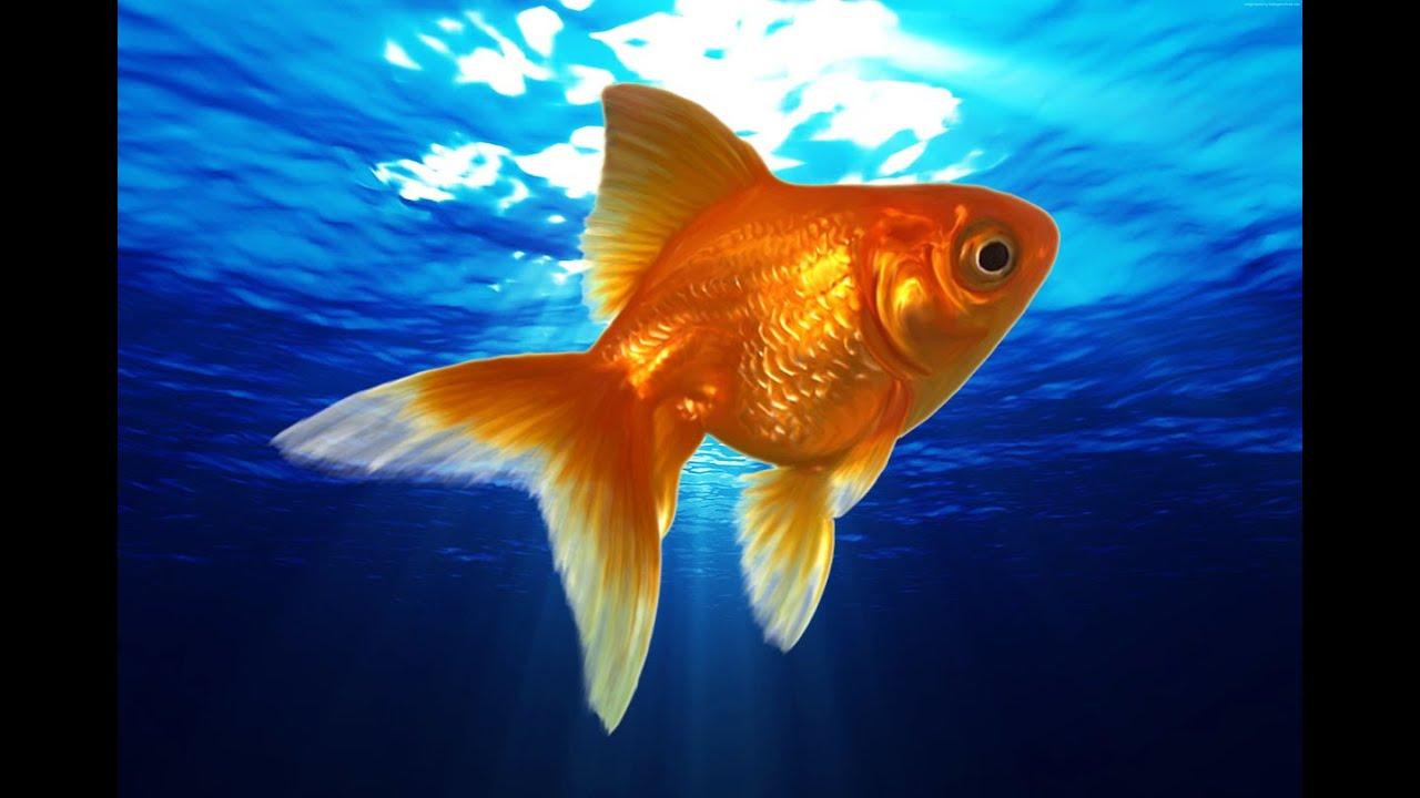 Золотая рыбка. Золотая рыбка в аквариуме. Аквариумные ...