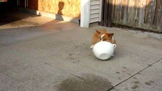 Welsh Corgi Chases His Water Bowl