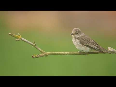 Spotted Flycatcher, Spurn 5/19/20