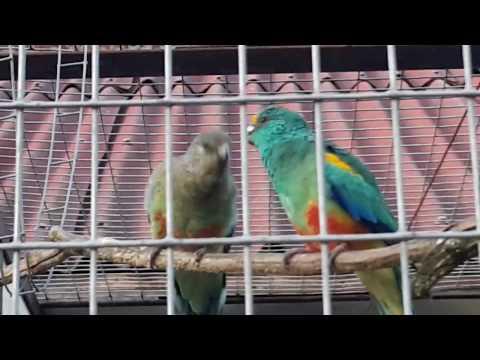Разноцветный плоскохвостый попугай Mulga parrot